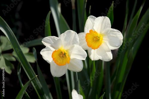 Papiers peints Narcisse White narcissus flowers