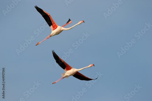 Foto op Aluminium Flamingo Two Greater Flamingo flying in formation against blue sky.
