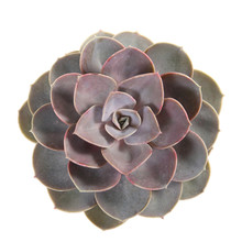 Round Succulent Top Isolated On White Background