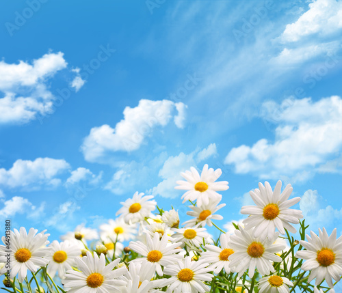 Foto op Canvas Madeliefjes Daisy flowers