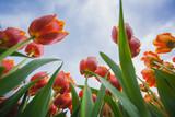 Zakwitnięte tulipany na tle niebieskiego nieba