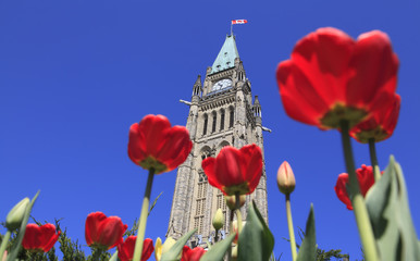 fototapeta parlament kanadyjski otoczony tulipanami