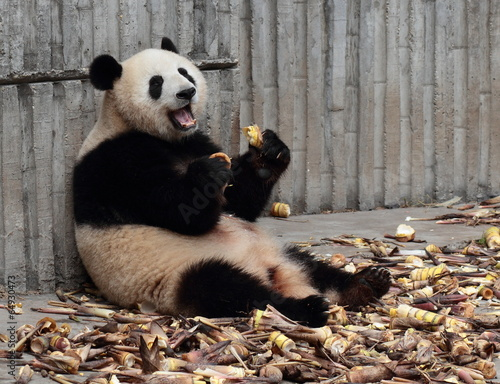 Papiers peints Panda Panda eating bamboo shoots happily
