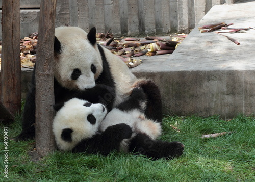 Panda cub lying on the grass watching mom or dad