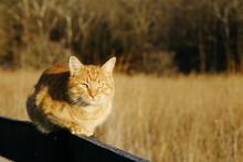 Orange Cat Sitting On Fence 3