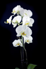 Fototapeta Storczyki white orchid