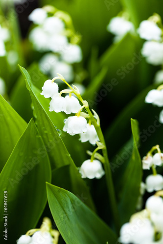 Deurstickers Lelietje van dalen Lily of the valley flowers with water drops on green background.