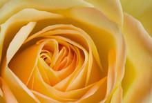 Close Up Image Of Orange And Yellow Rose