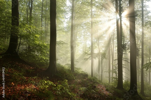 Fototapeten Wald Foggy, sunny morning in spring forest