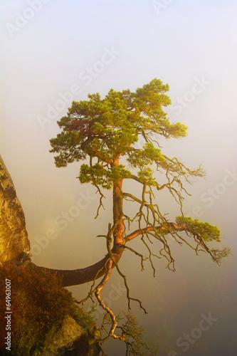 Kiefer am Felsen bei Sonnenaufgang im Nebel