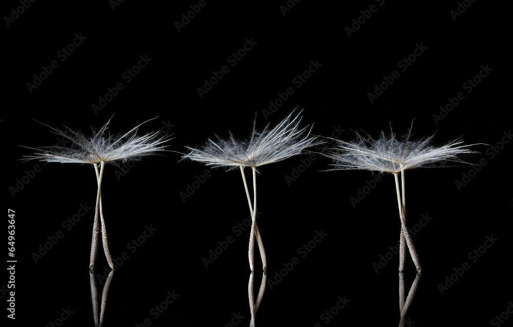 Fototapety, obrazy: Dandelion Seeds resembling ballet dancers