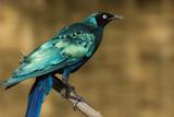 Piękny szpak siedzący na gałęzi (Lamprotornis Chalcurus)