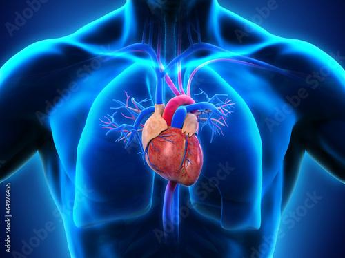 Foto Human Heart Anatomy