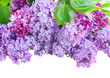 Border of Lilac flowers