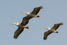 Three Pink-backed Pelicans (Pe...