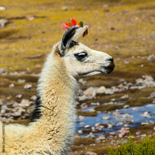 Staande foto Lama Llama profile