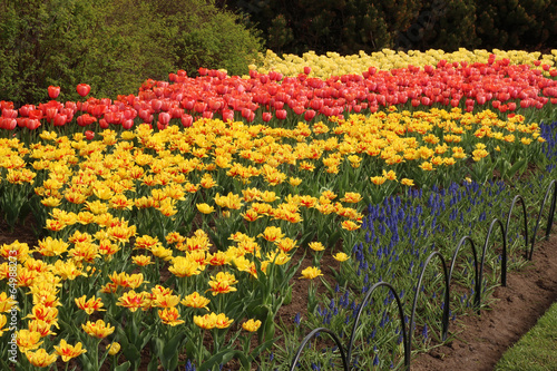 Canvas Prints Narcissus Spring tulips in full bloom, Tulip Festival in Ottawa, Canada