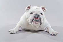 White English Bulldog Lying On The Floor. Studio Shot Against Gr