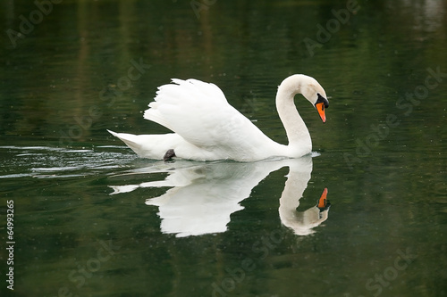 swimming male mute swan 7882