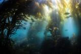 Shallow Kelp Forest