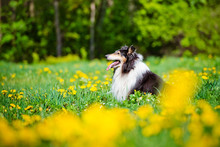 Rough Collie Dog Outdoors