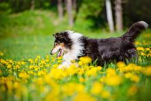 Black Rough Collie Dog In Dandelion Field