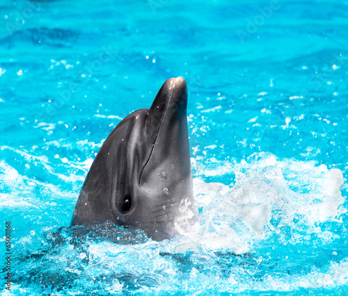 Poster Dolfijnen Glad beautiful dolphin in blue water in the swimming pool on a b
