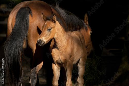 Fotografie, Obraz  Colt next to mother.