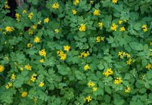 Flowering Greater Celandine Closeup As Background.