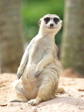 Lovely Meerkat Standing And Lo...