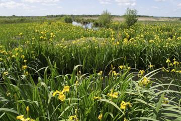 Iris pseudacorus dans le marais Vernier (27)