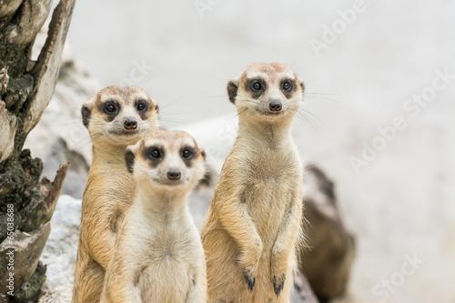 Obraz na plátně  Meerkats (Suricata suricatta)