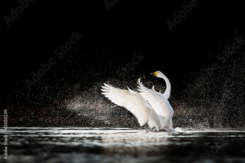 In de dag Zwaan Swan rising from water and splashing silvery water drops around