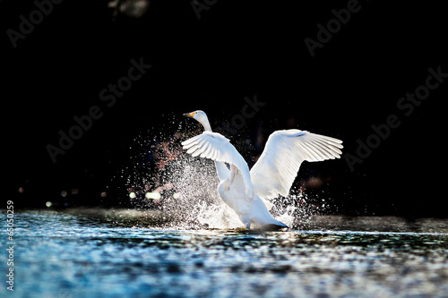 Poster Cygne Swan rising from water and splashing silvery water drops