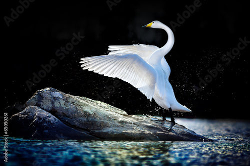 Swan standing with spread wings on a rock in blue-green water