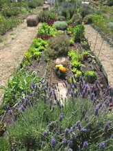 Organic Allotment With Lavender