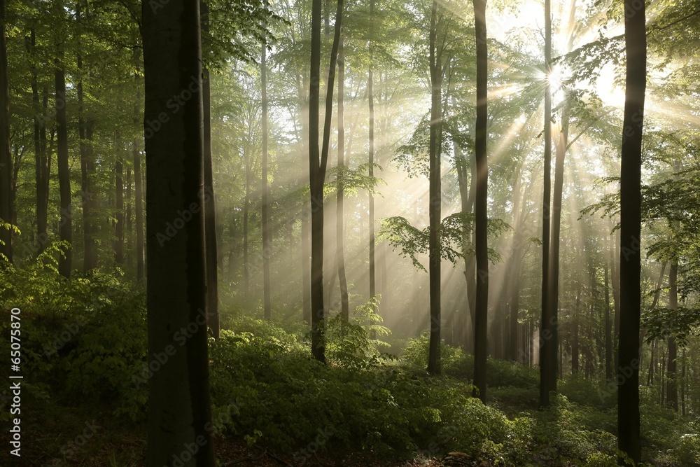Fototapety, obrazy: Wschód słońca w wiosennym lesie bukowym po deszczu