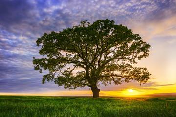 Big green tree in a field, dramatic clouds