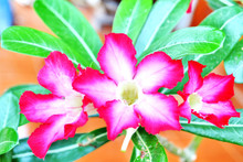 Desert Rose Or Ping Bignonia Flower Tree