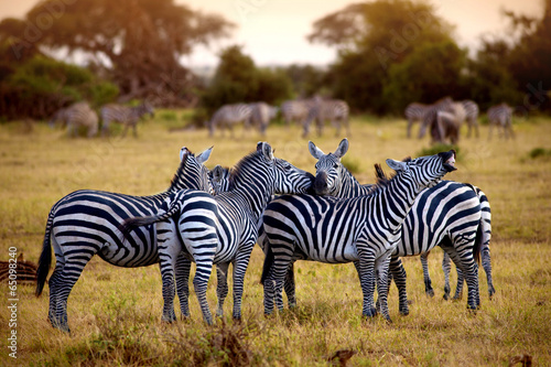 Keuken foto achterwand Zebra zebra's in africa walking on the savannah