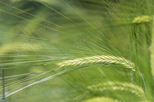 Fotografie, Obraz  junge Gerste auf dem Feld in der Landwirtschaft