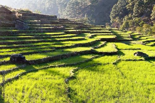 Fotobehang Rijstvelden green field of rice in nepal