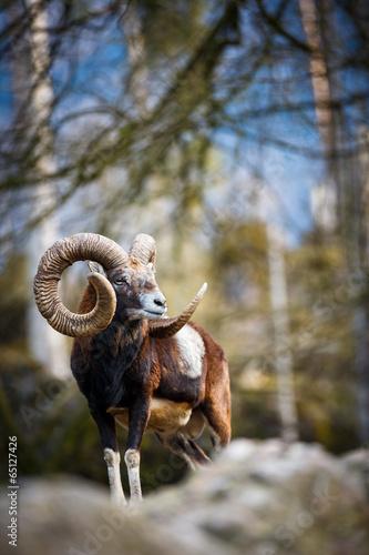 owca-stepowa-na-kamieniu