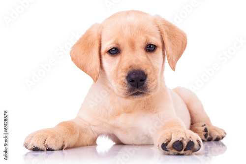 Fotografie, Obraz  adorable seated labrador retriever puppy dog