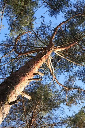 Valokuva  Pine Tree