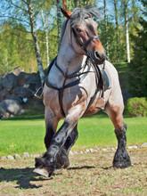 Running Belgian Draught Horse.