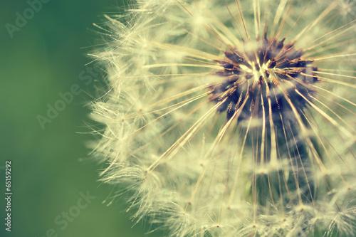 Dandelion macro retro photo