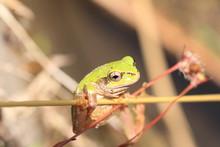 Japanese Tree Frog  Hyla Japon...