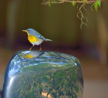 Northern Parula Wood Warbler On A Car Mirror