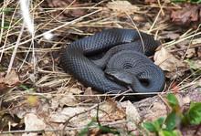 Venomous Snake Black Forest Viper.